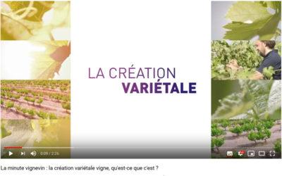 La création variétale vigne, qu'est-ce que c'est ?