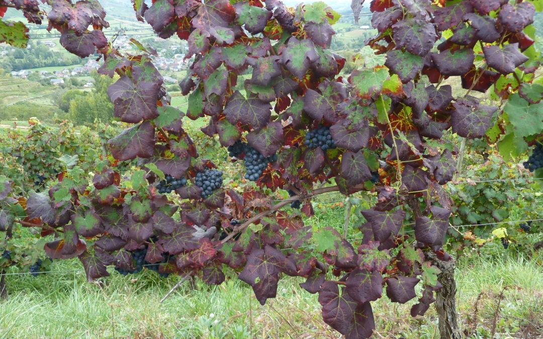 Lutte contre l'Enroulement viral de la vigne