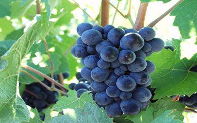 Changement climatique et qualité des raisins