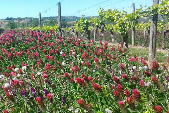 Les engrais verts en viticulture
