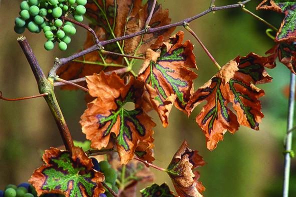Bois noir de la vigne : supprimer les orties et le liseron des champs