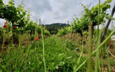 L'enherbement de l'inter-rang de vigne