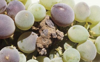 Produits de biocontrôle contre la pourriture grise