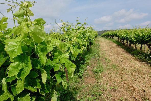 L'enherbement de la vigne