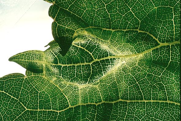 Reconnaître les principales viroses de la vigne
