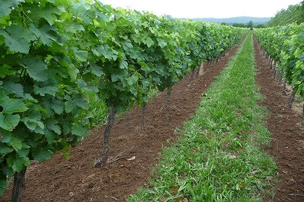 L'entretien du sol en viticulture biologique