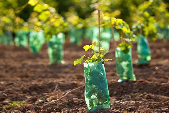Tout savoir sur la plantation d'une vigne
