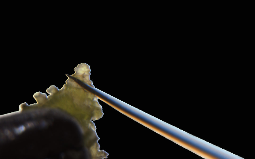 Assainissement du matériel végétal par micro-greffage d'Apex